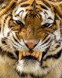 Tigre piacevole fotografia stock libera da diritti