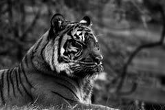 Tigre, portrait d'un tigre en noir et blanc photographie stock