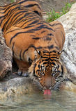 Tigre potable photographie stock