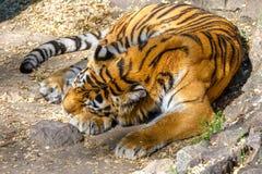 Tigre predatore a strisce dell'Amur dell'animale selvatico addormentata Fotografia Stock