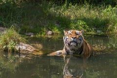 Tigre prenant un bain Photo stock