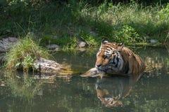 Tigre prenant un bain Image libre de droits