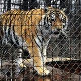 Tigre prendido Imagens de Stock