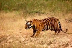 Tigre pronto para caçar Foto de Stock Royalty Free
