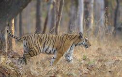 Tigre que anda com cauda acima no parque nacional de Pench, Madhya Pradesh foto de stock