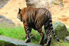 Tigre que anda em GermanyinAugsburg foto de stock