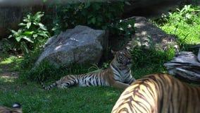 tigre que busca algo en el parque zoológico, mintiendo en el hábitat de la naturaleza, el animal hermoso del gato grande y muy pe almacen de video