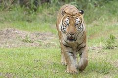 Tigre que busca para la comida Imágenes de archivo libres de regalías