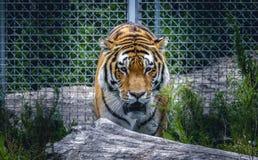 Tigre que camina en árbol hacia fotógrafo Fotografía de archivo libre de regalías