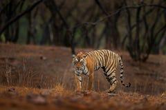 Tigre que camina en tigre indio del bosque seco viejo con la primera lluvia, animal salvaje en el hábitat de la naturaleza, Ranth imagenes de archivo
