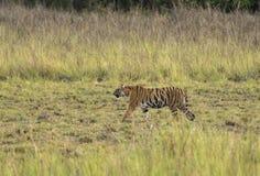 Tigre que camina en prado en la igualación de horas fotografía de archivo