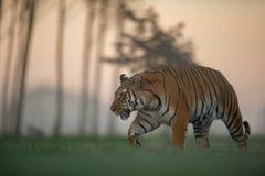 Tigre que camina en salida del sol animal despredador Tigre siberiano, escena de la fauna con el animal peligroso imagenes de archivo