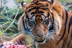 Tigre que come la carne en el parque zoológico Fotos de archivo libres de regalías