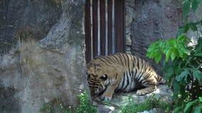 Tigre que come la carne en el parque zoológico, mintiendo en el hábitat de la naturaleza, el animal hermoso del gato grande y muy almacen de metraje de vídeo