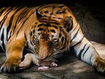 Tigre que come la carne en un parque zoológico Imágenes de archivo libres de regalías