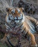 Tigre que come na reserva do jogo em África do Sul fotografia de stock
