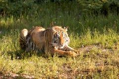 Reclinación del tigre Foto de archivo libre de regalías