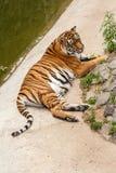 Tigre que descansa en la naturaleza cerca del agua Fotos de archivo libres de regalías