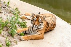 Tigre que descansa en la naturaleza cerca del agua Imágenes de archivo libres de regalías