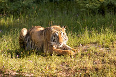 Descanso do tigre Foto de Stock Royalty Free