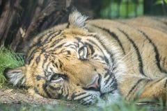 Tigre que descansa na terra Imagens de Stock Royalty Free