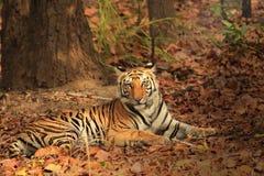 Tigre que descansa y que mira hacia cámara Imagen de archivo