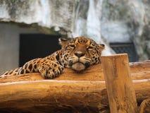 Tigre que dorme na madeira Fotos de Stock
