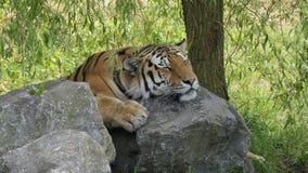 Tigre que dormita en rocas foto de archivo