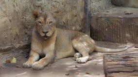 Tigre que duerme en parque zoológico almacen de metraje de vídeo