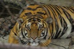 Tigre que duerme en una jaula Fotografía de archivo libre de regalías