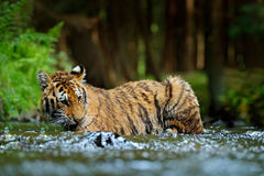 Tigre que encontra-se na água do rio Cena dos animais selvagens da ação do tigre, gato selvagem, habitat da natureza Tigre que fu Fotografia de Stock