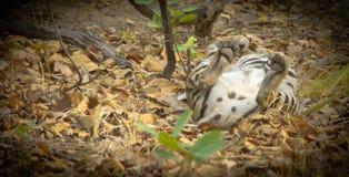 Tigre que encontra-se na parte traseira que mostra as patas Fotos de Stock Royalty Free