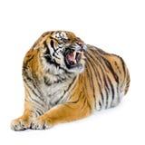 Tigre que encontra-se para baixo Imagem de Stock Royalty Free
