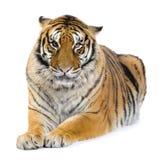 Tigre que encontra-se para baixo Fotos de Stock Royalty Free