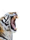 Tigre que gruñe Fotos de archivo libres de regalías