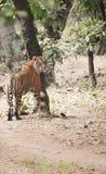 Tigre que inclina-se na árvore fotografia de stock royalty free