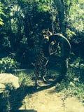 Tigre que joga com pneumático Fotografia de Stock Royalty Free