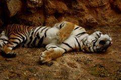 Tigre que juega absolutamente Foto de archivo