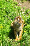 Tigre que miente en el sol Imagen de archivo
