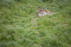 Tigre que miente en la hierba Fotografía de archivo