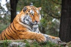 Tigre que miente en la tierra en safari imagenes de archivo