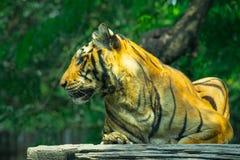 Tigre que miente en una madera imágenes de archivo libres de regalías