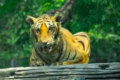 Tigre que miente en una madera foto de archivo
