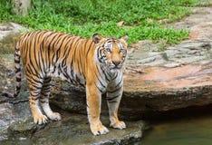 Tigre que mira durante la relajación en naturaleza Fotografía de archivo