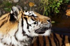 Tigre que olha acima Fotografia de Stock Royalty Free