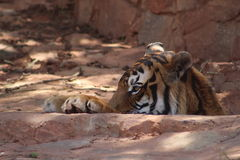 Tigre que olha para fora Imagens de Stock