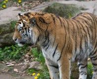Tigre que parece derecho Fotos de archivo libres de regalías