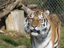 Tigre que passeia dentro de seu cerco fotografia de stock royalty free