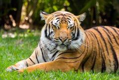 Tigre que reclina 20 Fotos de archivo