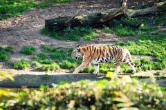 Tigre que recorre Fotografía de archivo